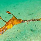 Weedy seadragon head - Phyllopteryx taeniolatus by Andrew Trevor-Jones