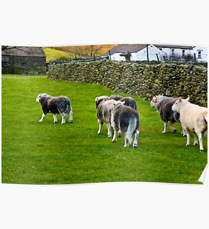 Ba Ba Herdwick Sheep Poster