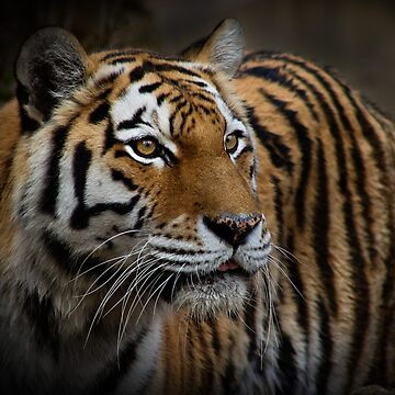 Amur Tiger by RobynCarter