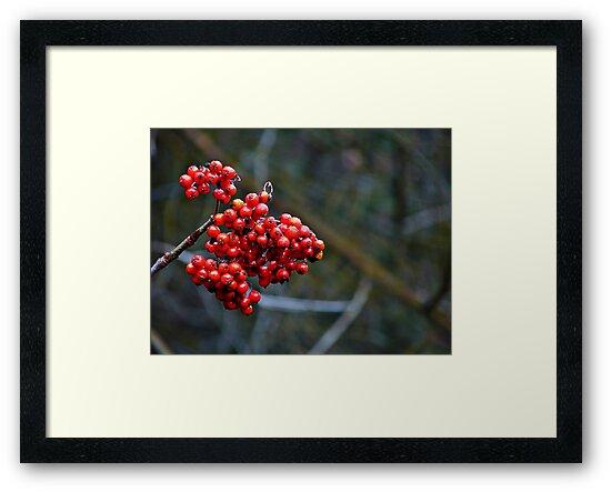 Clinging to summer - rowan berries by Dan Florence