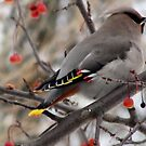 Pretty Bird  Bohemian Waxwing  by Rose Gallik