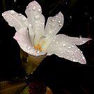pink crocus by Helenvandy