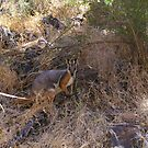 Yellow Footed Rock Wallaby by yeuxdechat