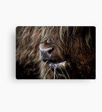 Hamish, Highland Cow, Kilmahog Canvas Print