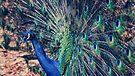 Peacock Feathers by yolanda