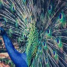 Peacock Feathers by yolanda