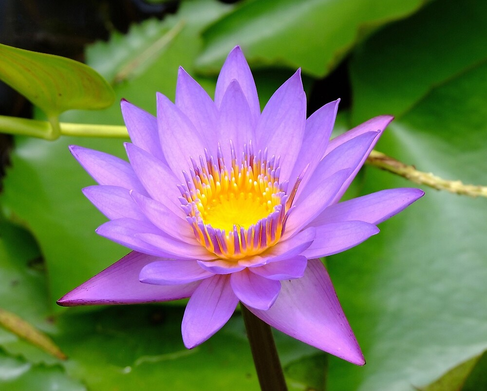 Purple Water Lily by RickDavis