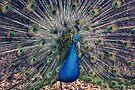 Peacock II by yolanda