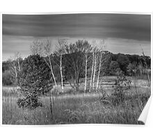 Black and White Birch Poster