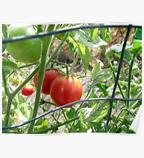 Tomatoes on the vine... Poster