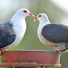 White Headed Pigeons In Our Back Yard. Brisbane, Queensland, Australia. by Ralph de Zilva