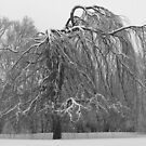 Weeping Willow In Winter by Curtis  Sheppard