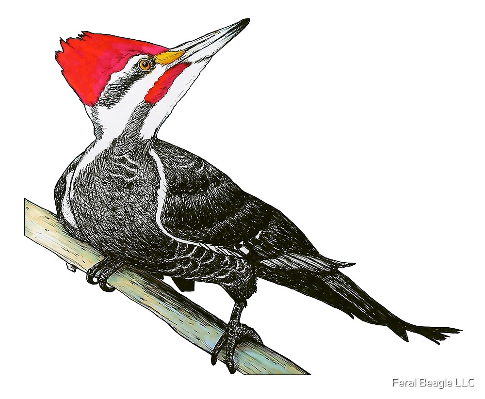 Pileated Woodpecker by Feral Beagle LLC
