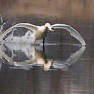 Mute Swan - Stoney Creek, Ontario, Canada by Raymond J Barlow
