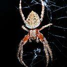 Orb Weaver Spider by GailD