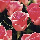 Roses by Tamis