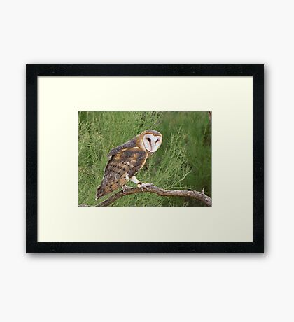 Barn Owl ~ Captive Framed Print