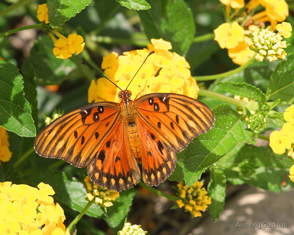 Gulf fritillary butterfly at home by Anthony Goldman
