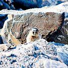 marmot by youngkinderhook