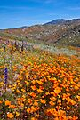 Wildflowers in Wilson Canyon by photosbyflood