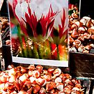 Giant Tulip bulbs by phil decocco