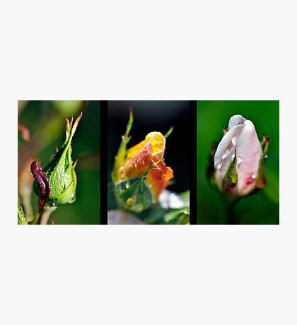 Rosebud Collage Photographic Print