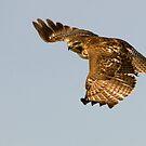 Red-tailed Hawk 2  - Ontario, Canada by Raymond J Barlow