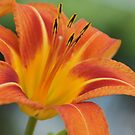 Another Asiatic lily in Wakarusa by agenttomcat