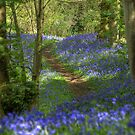 Bluebell wood in Suffolk by Christopher Cullen