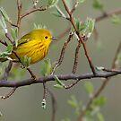Yellow Warbler - Ontario, Canada by Raymond J Barlow