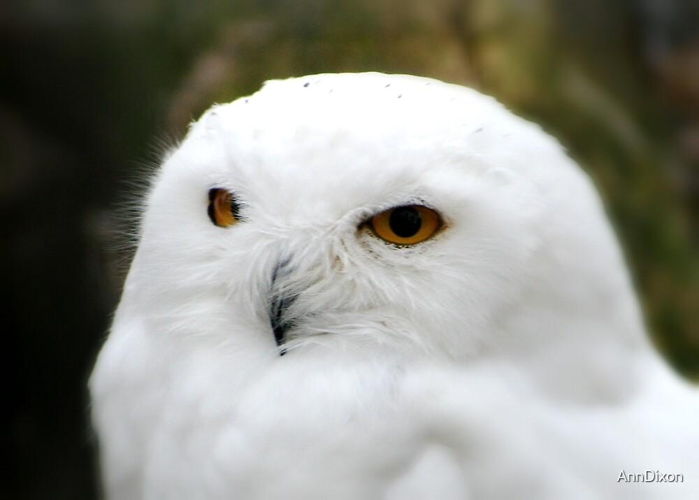 Snowy Owl, by AnnDixon