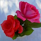 Roses by mrvica