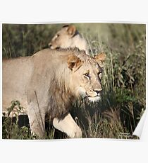 Madikwe Lions - Young Pretenders 2 Poster