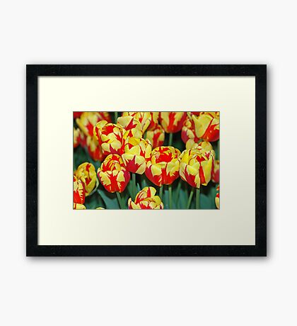Tulip (Holland Queen) Framed Print
