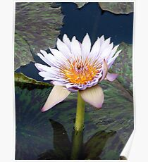 Water Lillies 11 Poster