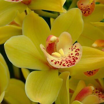 Orchidee - Orchidée - Orkidé - Orquídea - Orchid by Patje