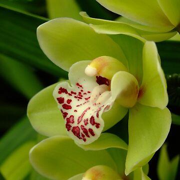 Orchidée - Orkidé - Orquídea - Orchid - Orchidee by Patje