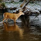 whitetail crossing #3 by Rodney55