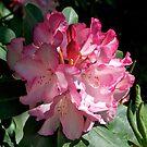 Pink Rhododendron, Broadfields, Christchurch, NZ by johnrf