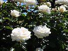 Rose 3 by Beverley  Johnston