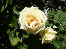 Rose 5 by Beverley  Johnston