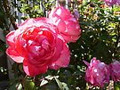 Rose 8 by Beverley  Johnston