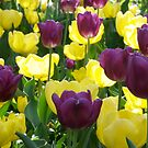 Tulips, Pittsburgh in Spring by chriso