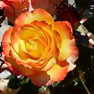 Rose 15 by Beverley  Johnston