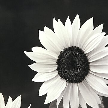 Sunflower in black and White by JonGrundy