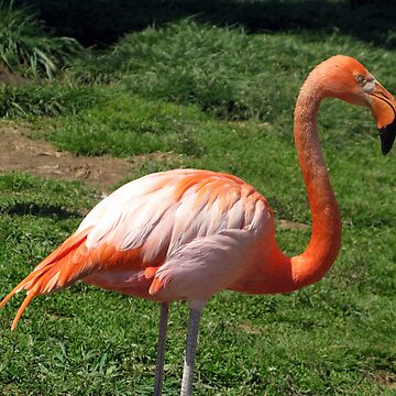 Pretty in Pink - Flamingo by ckdesigns