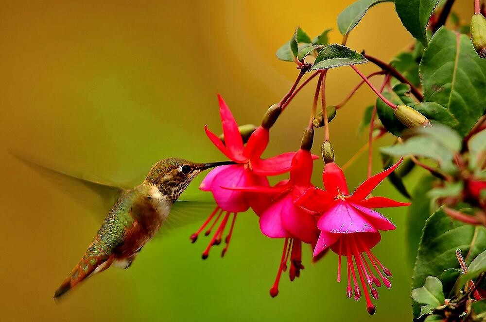 HUMMINGBIRD IN FLIGHT by RoseMarie747