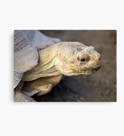 Sulcata Tortoise Canvas Print
