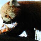 Red Panda Print 2 by NonfatalNerdism