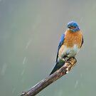 Eastern Bluebird - Cayuga, Ontario, Canada by Raymond J Barlow